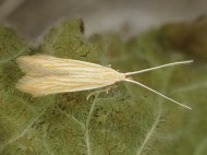 Coleophora lineolea: reared ex case (c) Dave Shenton