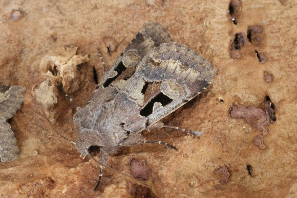 Hebrew Character (Orthosia gothica) Dave Shenton